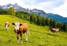 Krávy se pasou na alpské louce