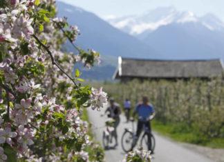 Cyklo trasa vedoucí jabloňovým sadem v oblasti Merana