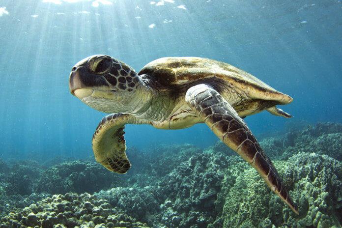 Mořská želva plavající pod hladinou