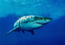 Žralok plavající v moři