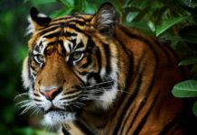 Detail hlavy tygra